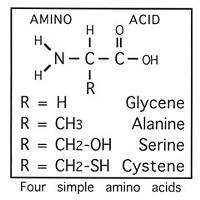 Diagram of several amino acids, by Don Garlick