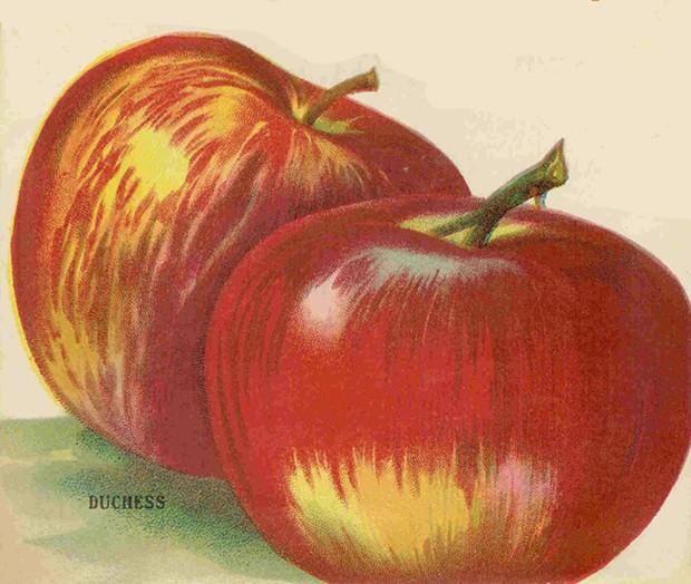 Duchess apples