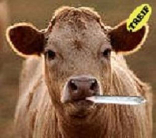 cow-smoking-pot-706747.jpg