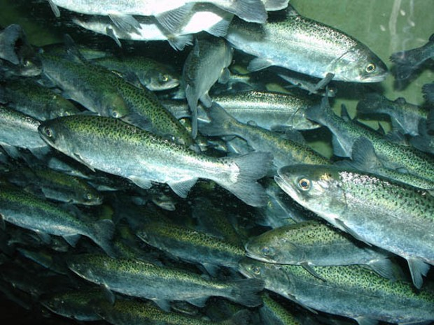 Favorable ocean conditions and heavy rains have brought the Chinook Salmon back, but to a river choking of toxic algae. - PHOTO BY WIKIMEDIA COMMONS USER ZUREKS/CREATIVE COMMONS LICENSE