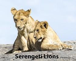 936835c1_serengeti_lions_by_william_wood.jpg