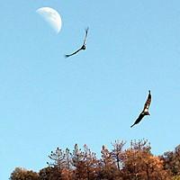 California condors.