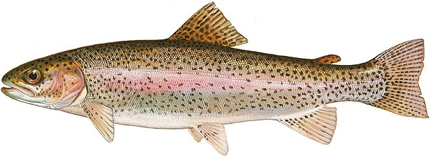 calfish.jpg