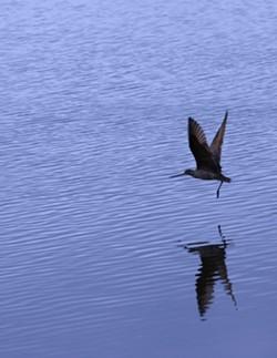PHOTO BY BOB DORAN - Godwit flying