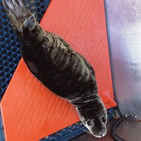 Unleashed Harbor seal pup Ollie was rescued from Indian Beach in Trinidad on June 5. She was brought in with puncture wounds to both of her rear flippers, as well as her right front flipper, most likely caused by a dog attack. Photo by Deidre Pike