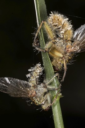 Infected dung flies. - ANTHONY WESTKAMPER