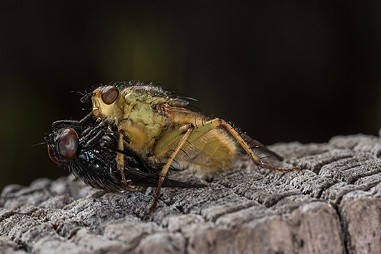 A dung fly and its victim. - ANTHONY WESTKAMPER