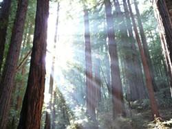 redwoods_3.jpg