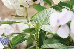 PHOTO BY GENEVIEVE SCHMIDT. - Hydrangea pruning