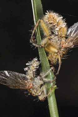 PHOTO BY ANTHONY WESTKAMPER - Infected dung flies.