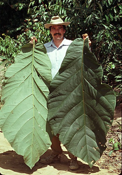 James Zarucchi with some rather large leaves from the coccoloba plant. Photo courtesy of James Zarucchi