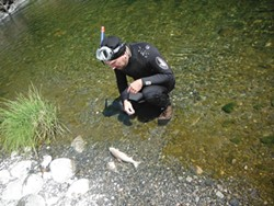 PHOTO COURTESY OF ENVIRONMENTAL PROTECTION INFORMATION CENTER. - Klamath Fish Health Assessment Team member Nat Pennington inspects a dead chinook salmon, one of dozens he observed during a recent survey of a major tributary to the Klamath River. North Coast Assemblyman Wesley Chesbo voted against a statewide water bond because he felt it may further imperil salmon in his district.