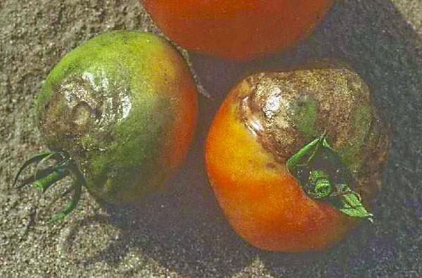 Late blight on tomatoes.  Photo courtesy of Ministry of Agriculture, Food & Rural Affairs, Ontario, Canada.