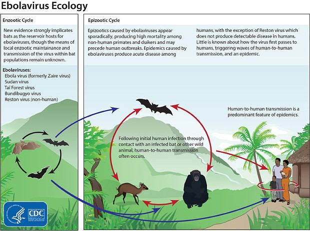 Lifecycle of ebola - COURTESY THE U.S. CENTERS FOR DISEASE CONTROL AND PREVENTION