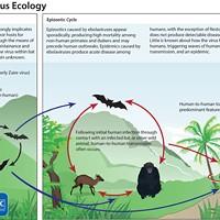 Lifecycle of ebola