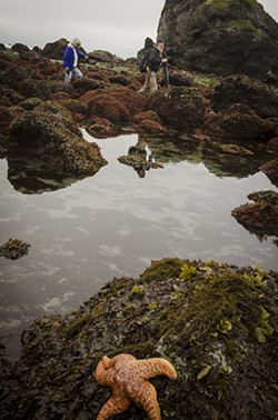 PHOTO BY MARK A. LARSON - Long-time local nature photographer Larry Ulrich (right) and his wife, Donna, were photographed while they were at work searching for another photograph during an exceptional low tide at Luffenholtz Beach near Trinidad on Saturday, April 27 at 8:15 a.m.