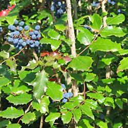 'Maholia (Berberis) aquifolium.' Photo by Wikimedia Commons user Meggar.