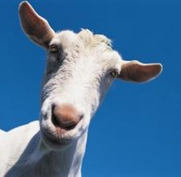 article-page-main-ehowdairy-goat.jpg
