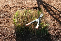 PHOTO BY GENEVIEVE SCHMIDT - Miscanthus pruning.