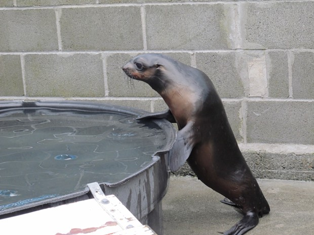 Mork, an abandoned northern fur seal pup, was rescued from a beach near Crescent City in December. - DEIDRE PIKE