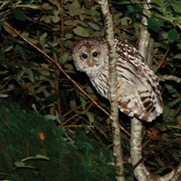 Barred Owl Killing Has Begun