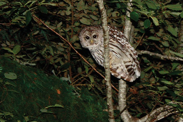 Barred owl. - PHOTO BY ZACH ST. GEORGE