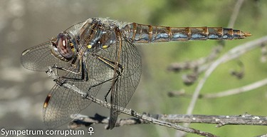 Female variegated meadowhawk - ANTHONY WESTKAMPER