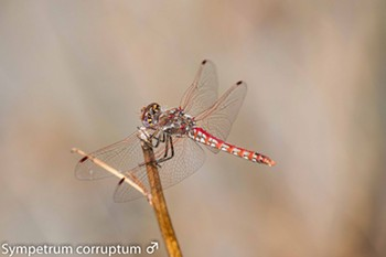 Male variegated meadowhawk - ANTHONY WESTKAMPER
