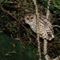 Barred Owl Killing Has Begun