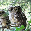 Spotted Owl to Get Endangered Listing?