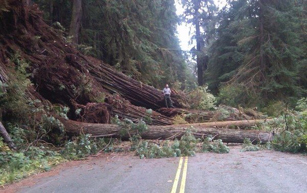 No more purloined burl! (These are trees downed in a 2011 storm; road closure measures won't be this drastic.) - REDWOOD NATIONAL AND STATE PARKS VIA KCET