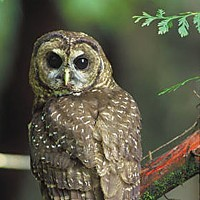 The Biocrat Northern Spotted Owl. Photo courtesy the U.S. Fish and Wildlife Service.