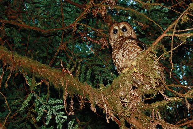 Northern Spotted Owl - PHOTO BY ZACH ST. GEORGE