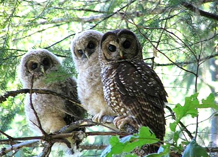 Northern Spotted owls - PHOTO COURTESY OF THE U.S. FISH AND WILDLIFE SERVICE