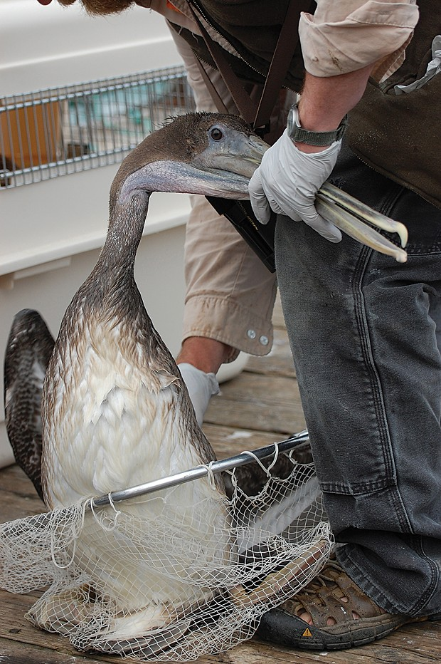 Monte Merrick rescuing an oiled pelican from the Trinidad Pier in 2012. - PHOTO BY DREW HYLAND