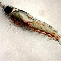 Krill Kill