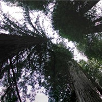 Arts! Arcata Febuary Photographer Thomas Dunklin captures the majesty of the redwood forest in a collection of panoramas running through February at the Arcata Scoop
