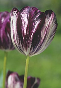 Rare Black and White tulips 'Tulipomaniacs of the 1630s would have given a fortune to own.' Photo courtesy Old House Gardens.