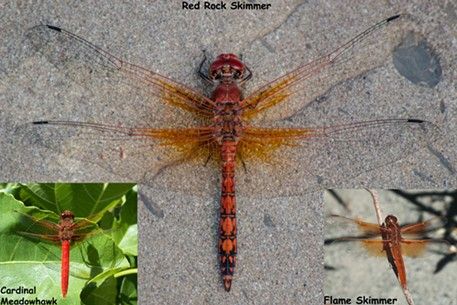 Red dragonflies - ANTHONY WESTKAMPER