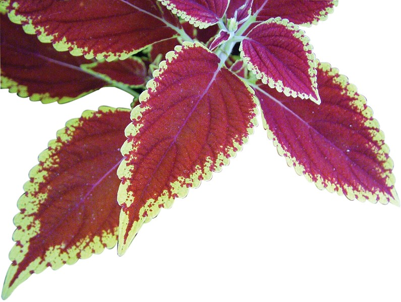 Red-Green Coleus