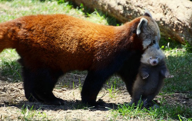 Red panda Stella Luna carries her newborn cub outside the den for the first time at Sequoia Park Zoo. - PATTY ANDRIESE