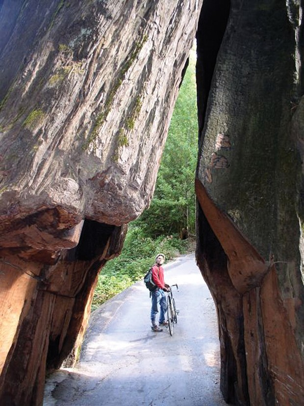 Rees Hughes takes in the trees along the Avenue of the Giants. - PHOTO BY DAVID DAVIS