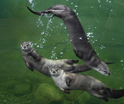 River otters at the Sequoia Zoo Watershed Heroes exhibit - PHOTO COURTESY OF SEQUOIA ZOO