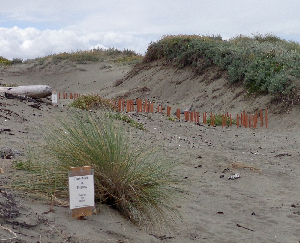 Rogue stakes in the dunes. - CHRIS DRISCOLL
