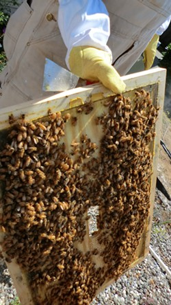 JOSEPHINE JOHNSON - Roy Matthews works with a friend's bee colony in the outskirts of Eureka.