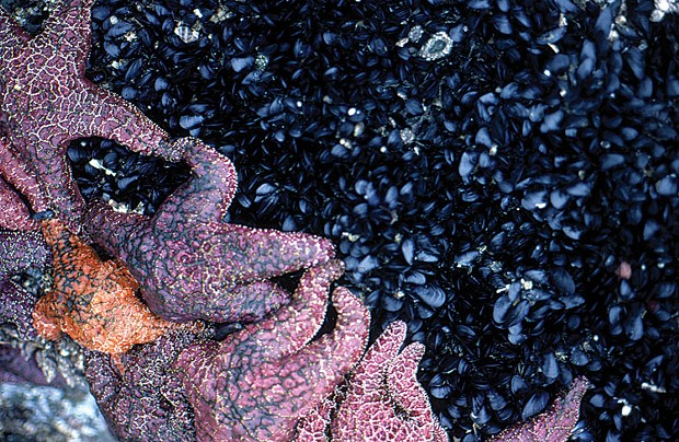 Sea stars, anemones and mussels exposed at low tide. - PHOTO BY REES HUGHES