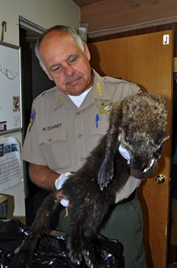 Sheriff Mike Downey holds the body of a dead fisher that was found at a marijuana grow yesterday. - PROVIDED BY THE HUMBOLDT COUNTY SHERIFF'S OFFICE