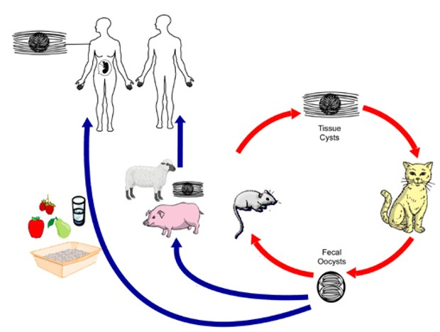 Simplified life cycle for T. gondii: after reproducing in cats (primary hosts) the parasite is passed on to an intermediate host such as a rat, which becomes infected after ingesting water or plant material contaminated with oocysts in the cats' feces. - ADAPTED FROM CENTER FOR DISEASE CONTROL WEBSITE, PUBLIC DOMAIN