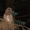 Shooting Owls