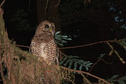 PHOTO BY ZACH ST. GEORGE - Spotted owl